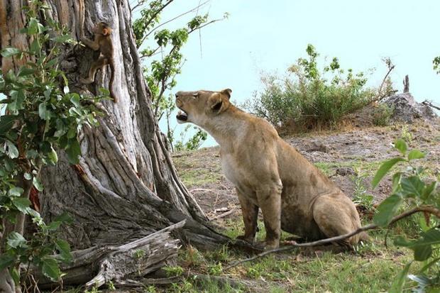 Khoảnh khắc nhói lòng khi sư tử ngoạm chặt chuẩn bị đánh chén chú khỉ con, đau đớn nhưng là quy luật nghiệt ngã của tự nhiên - Ảnh 7.