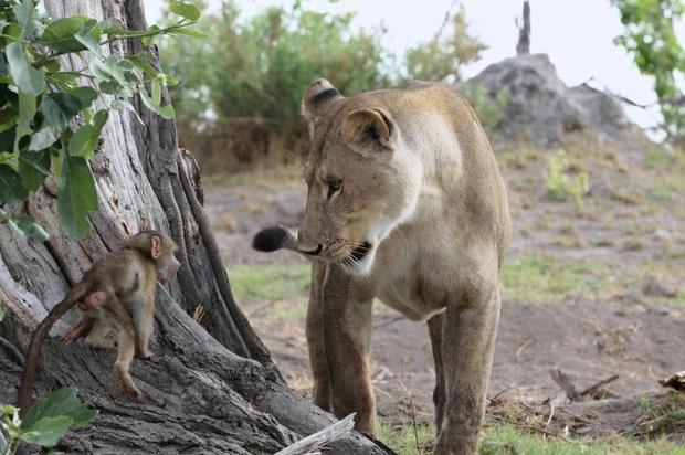 Khoảnh khắc nhói lòng khi sư tử ngoạm chặt chuẩn bị đánh chén chú khỉ con, đau đớn nhưng là quy luật nghiệt ngã của tự nhiên - Ảnh 8.