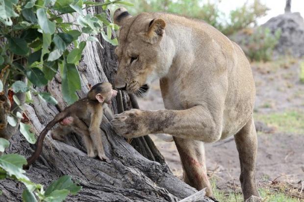 Khoảnh khắc nhói lòng khi sư tử ngoạm chặt chuẩn bị đánh chén chú khỉ con, đau đớn nhưng là quy luật nghiệt ngã của tự nhiên - Ảnh 9.