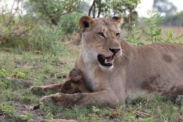 Khoảnh khắc nhói lòng khi sư tử ngoạm chặt chuẩn bị đánh chén chú khỉ con, đau đớn nhưng là quy luật nghiệt ngã của tự nhiên - Ảnh 10.