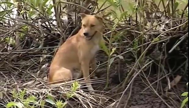 Chú chó hàng Việt cứu người, gánh bom ở Đất Phương Nam bỗng hot trở lại giữa tâm bão tẩy chay Cậu Vàng - Ảnh 2.