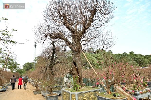 Cây đào trăm tuổi vừa xuống phố Hà Nội đã gặp khách chi gần trăm triệu thuê về chơi Tết Nguyên đán - Ảnh 1.