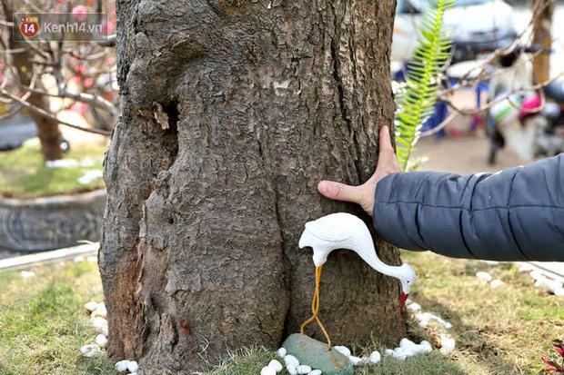 Cây đào trăm tuổi vừa xuống phố Hà Nội đã gặp khách chi gần trăm triệu thuê về chơi Tết Nguyên đán - Ảnh 4.