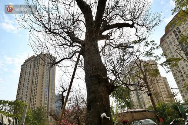Cây đào trăm tuổi vừa xuống phố Hà Nội đã gặp khách chi gần trăm triệu thuê về chơi Tết Nguyên đán - Ảnh 3.