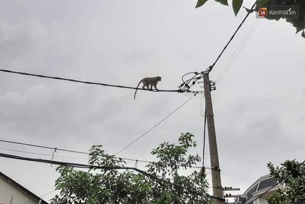"""Cận cảnh đàn khỉ """"đại náo"""" khu dân cư ở Sài Gòn khiến người dân mệt mỏi: Chúng rất sợ đàn ông nhưng lại không sợ phụ nữ - Ảnh 10."""