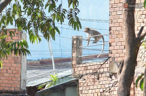 """Cận cảnh đàn khỉ """"đại náo"""" khu dân cư ở Sài Gòn khiến người dân mệt mỏi: Chúng rất sợ đàn ông nhưng lại không sợ phụ nữ - Ảnh 1."""