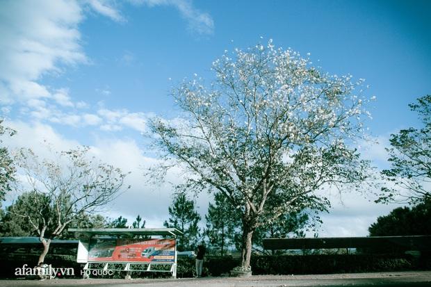 Đẹp đến khó tin: Hàng trăm cây hoa ban nở trắng trời khắp Đà Lạt, cảnh tượng từ xa nhìn như tuyết phủ bao quanh thành phố! - Ảnh 9.