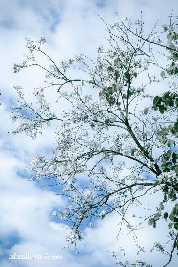 dep den kho tin: hang tram cay hoa ban no trang troi khap da lat, canh tuong tu xa nhin nhu tuyet phu bao quanh thanh pho! - anh 7