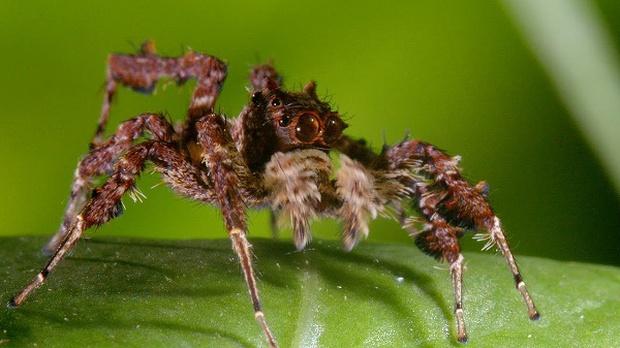 Chuyện về con nhện đi săn nhện: Thạo binh pháp như Gia Cát Lượng, đầy mưu hèn kế bẩn để săn mồi bằng mọi giá - Ảnh 1.