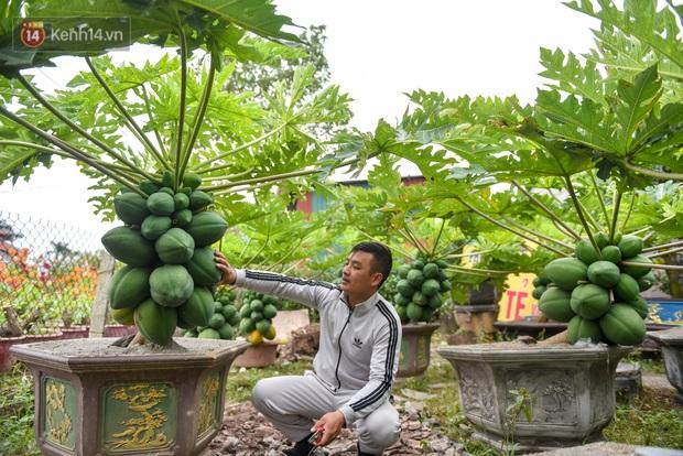 Ảnh: Vườn đu đủ bonsai độc, lạ, mỗi cây giá bạc triệu hút khách mua chơi Tết - Ảnh 5.