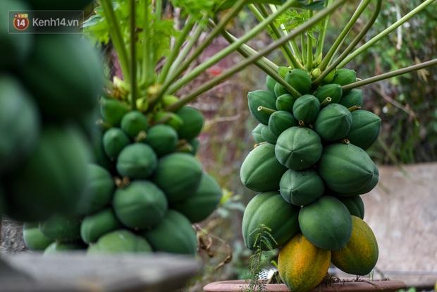 Ảnh: Vườn đu đủ bonsai độc, lạ, mỗi cây giá bạc triệu hút khách mua chơi Tết - Ảnh 13.