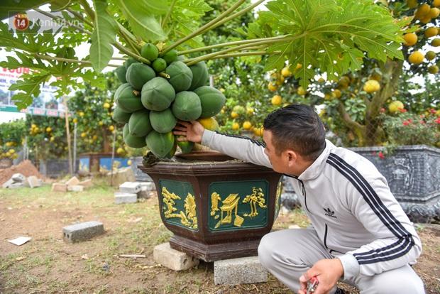 Ảnh: Vườn đu đủ bonsai độc, lạ, mỗi cây giá bạc triệu hút khách mua chơi Tết - Ảnh 3.