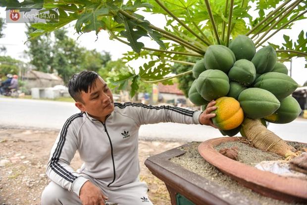 Ảnh: Vườn đu đủ bonsai độc, lạ, mỗi cây giá bạc triệu hút khách mua chơi Tết - Ảnh 4.