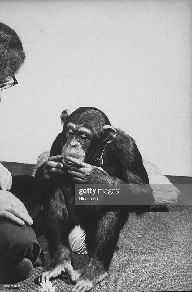 Được nhận nuôi từ thuở lọt lòng, con tinh tinh nghĩ mình là người, hoảng loạn lúc gặp đồng loại và cái kết buồn khi được trả về thế giới hoang dã - Ảnh 2.
