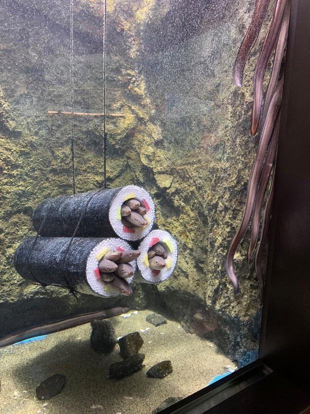Thủy cung tạo ra những cuộn sushi cá chình khổng lồ khiến dân tình khóc thét và sự thật thú vị đằng sau - Ảnh 1.
