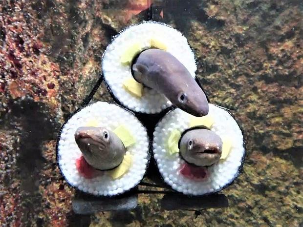 Thủy cung tạo ra những cuộn sushi cá chình khổng lồ khiến dân tình khóc thét và sự thật thú vị đằng sau - Ảnh 2.