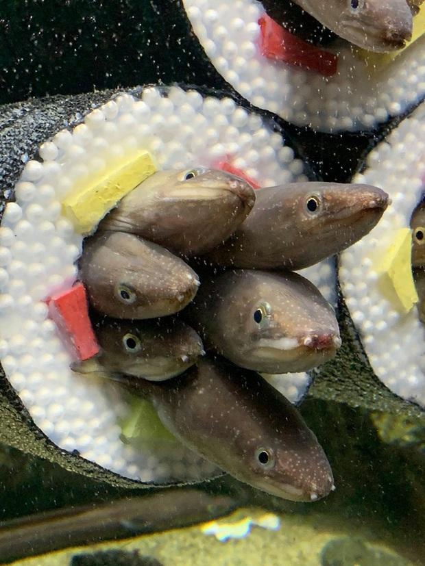 Thủy cung tạo ra những cuộn sushi cá chình khổng lồ khiến dân tình khóc thét và sự thật thú vị đằng sau - Ảnh 4.