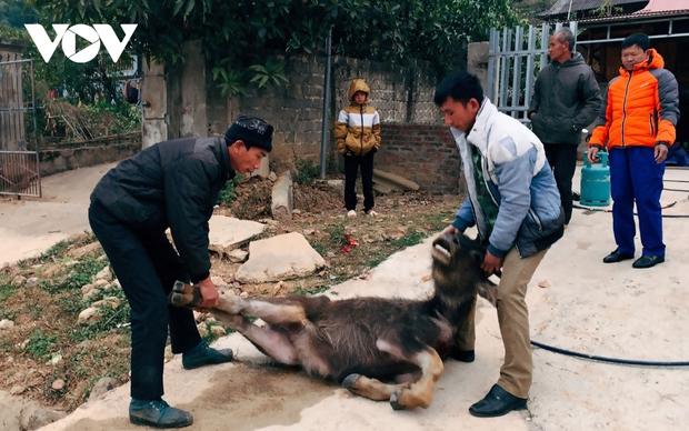 Rét hại khiến 257 con trâu, bò bị chết tại huyện Kon Plông, Kon Tum - Ảnh 1.