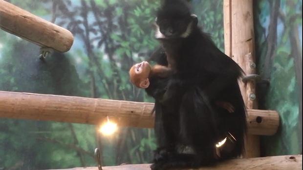 Bé khỉ Mỹ sinh ra đã bị mẹ bỏ rơi, được nhân viên vườn thú đặt tên tiếng Việt cực đáng yêu khiến trăm nghìn dân mạng lịm tim - Ảnh 4.
