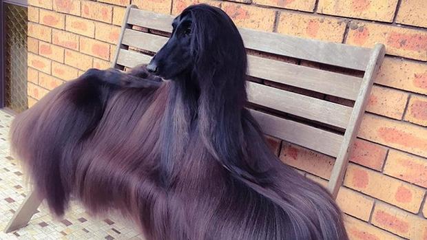 Nàng hậu chó sở hữu bộ lông suôn dài, bóng mượt như thác nước chảy ra, nhìn đã thấy mê chạm tay vào lại càng phê - Ảnh 2.