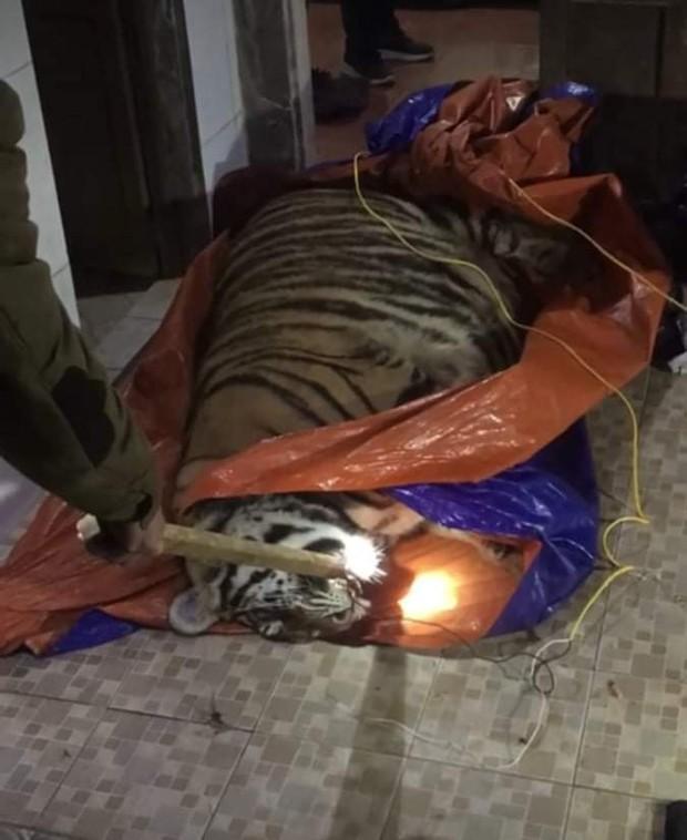 Hà Tĩnh: Hổ nặng 2,5 tạ bị điện giật bất tỉnh trong nhà dân - Ảnh 1.