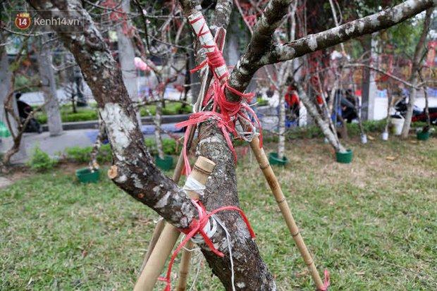 """Hà Nội: Những cành đào rừng Sơn La được dán tem đầu tiên """"rủng rỉnh"""" xuống phố chờ khách mua về chơi Tết - Ảnh 14."""