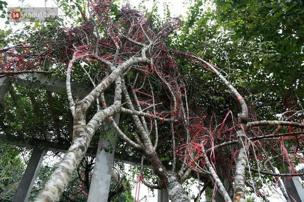 """Hà Nội: Những cành đào rừng Sơn La được dán tem đầu tiên """"rủng rỉnh"""" xuống phố chờ khách mua về chơi Tết - Ảnh 6."""