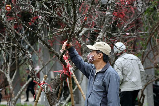 """Hà Nội: Những cành đào rừng Sơn La được dán tem đầu tiên """"rủng rỉnh"""" xuống phố chờ khách mua về chơi Tết - Ảnh 12."""