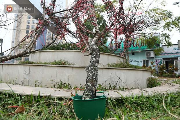 """Hà Nội: Những cành đào rừng Sơn La được dán tem đầu tiên """"rủng rỉnh"""" xuống phố chờ khách mua về chơi Tết - Ảnh 5."""