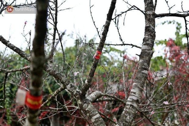 """Hà Nội: Những cành đào rừng Sơn La được dán tem đầu tiên """"rủng rỉnh"""" xuống phố chờ khách mua về chơi Tết - Ảnh 9."""