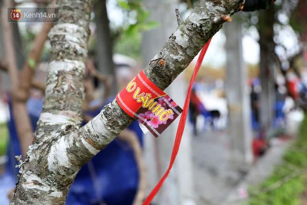 """Hà Nội: Những cành đào rừng Sơn La được dán tem đầu tiên """"rủng rỉnh"""" xuống phố chờ khách mua về chơi Tết - Ảnh 10."""
