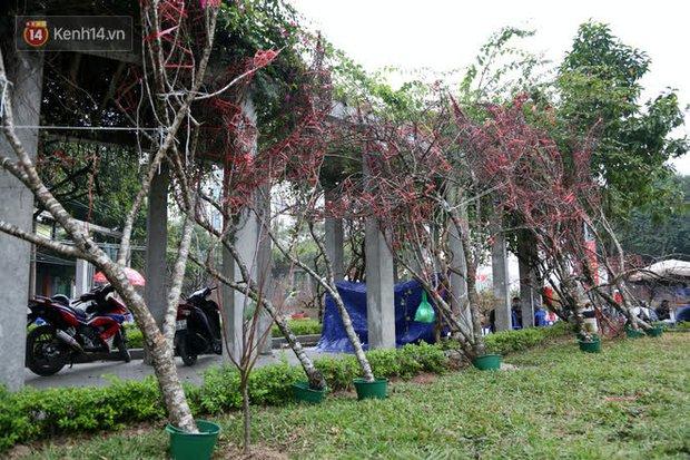 """Hà Nội: Những cành đào rừng Sơn La được dán tem đầu tiên """"rủng rỉnh"""" xuống phố chờ khách mua về chơi Tết - Ảnh 2."""