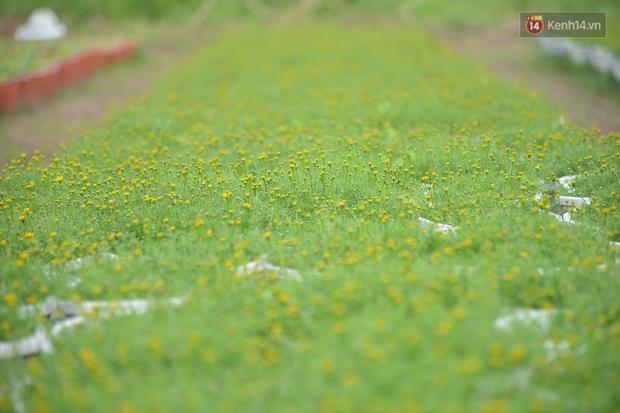 """Cánh đồng hoa ở Sài Gòn khoe sắc rực rỡ chào Tết, nhà vườn tất bật """"ăn ngủ"""" cùng hoa - Ảnh 13."""