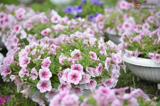 """Cánh đồng hoa ở Sài Gòn khoe sắc rực rỡ chào Tết, nhà vườn tất bật """"ăn ngủ"""" cùng hoa - Ảnh 11."""