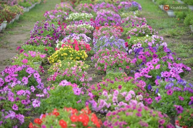 """Cánh đồng hoa ở Sài Gòn khoe sắc rực rỡ chào Tết, nhà vườn tất bật """"ăn ngủ"""" cùng hoa - Ảnh 10."""