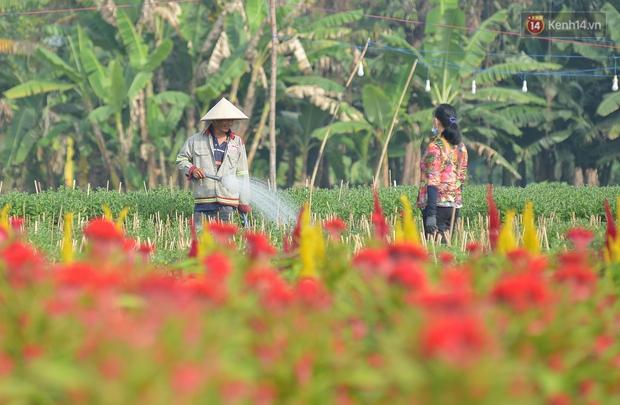 """Cánh đồng hoa ở Sài Gòn khoe sắc rực rỡ chào Tết, nhà vườn tất bật """"ăn ngủ"""" cùng hoa - Ảnh 5."""