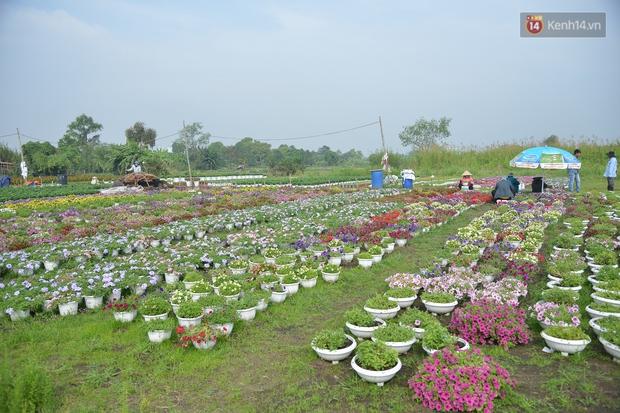 """Cánh đồng hoa ở Sài Gòn khoe sắc rực rỡ chào Tết, nhà vườn tất bật """"ăn ngủ"""" cùng hoa - Ảnh 2."""