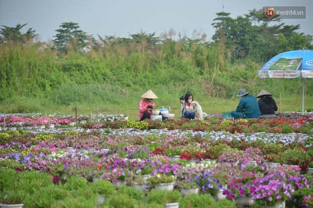"""Cánh đồng hoa ở Sài Gòn khoe sắc rực rỡ chào Tết, nhà vườn tất bật """"ăn ngủ"""" cùng hoa - Ảnh 3."""