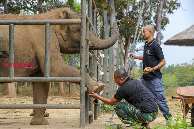 Mục kích những chú voi con hiếm hoi còn lại ở Đắk Lắk - Ảnh 4.