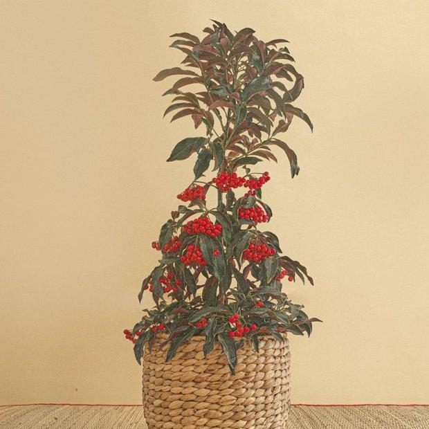 Tết này sắm cây gì: Mua kim ngân lượng cho lộc lá cả năm, tậu cúc mẫu đơn để nhà đẹp khỏi cãi - Ảnh 1.