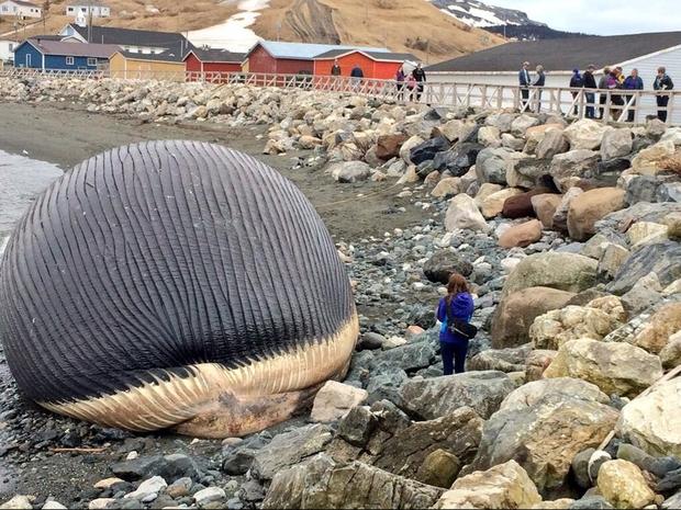 Clip: Xác cá voi trôi lênh đênh ngoài biển rồi bất ngờ phát nổ, tim gan lòng mề lộ hết ra khiến ngư dân phát khiếp - Ảnh 5.