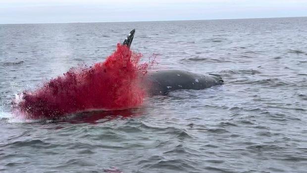 Clip: Xác cá voi trôi lênh đênh ngoài biển rồi bất ngờ phát nổ, tim gan lòng mề lộ hết ra khiến ngư dân phát khiếp - Ảnh 2.