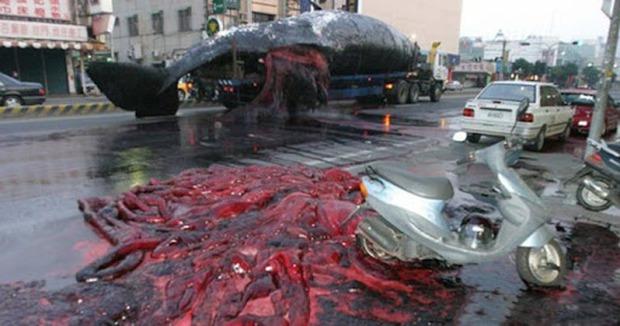 Clip: Xác cá voi trôi lênh đênh ngoài biển rồi bất ngờ phát nổ, tim gan lòng mề lộ hết ra khiến ngư dân phát khiếp - Ảnh 4.