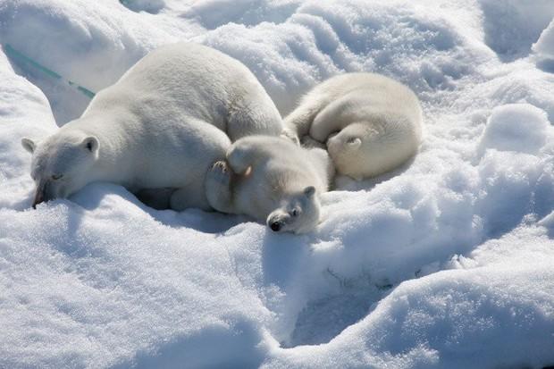 Câu hỏi tiểu học có đáp án bất ngờ nhưng lại sai ở 1 chi tiết nhiều người không biết: Lông của gấu Bắc Cực màu trắng, vậy da có màu gì? - Ảnh 2.
