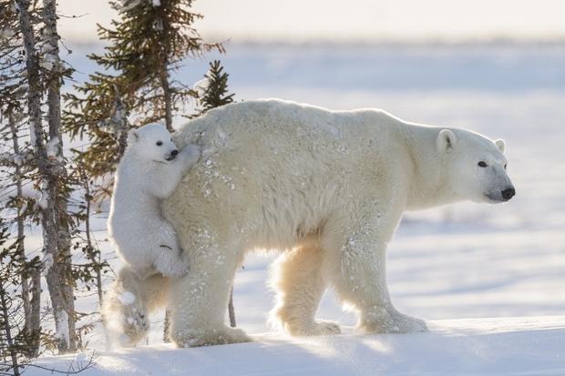 Câu hỏi tiểu học có đáp án bất ngờ nhưng lại sai ở 1 chi tiết nhiều người không biết: Lông của gấu Bắc Cực màu trắng, vậy da có màu gì? - Ảnh 3.