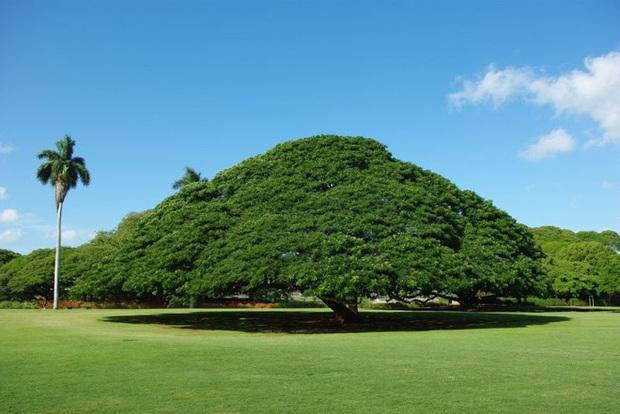 Cây khổng lồ trăm tuổi hái ra tiền ở Hawaii - Ảnh 1.