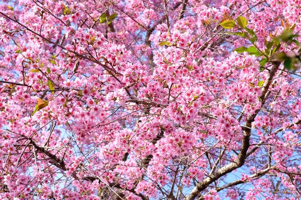 Ảnh: Đà Lạt những ngày cuối năm đẹp mê mẩn trong sắc hồng của mai anh đào nở muộn - Ảnh 6.