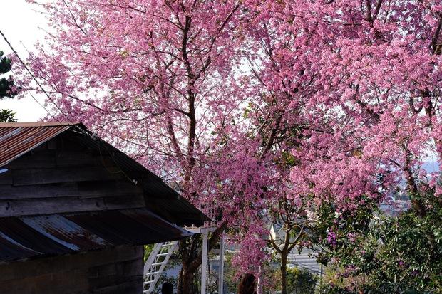 Ảnh: Đà Lạt những ngày cuối năm đẹp mê mẩn trong sắc hồng của mai anh đào nở muộn - Ảnh 7.