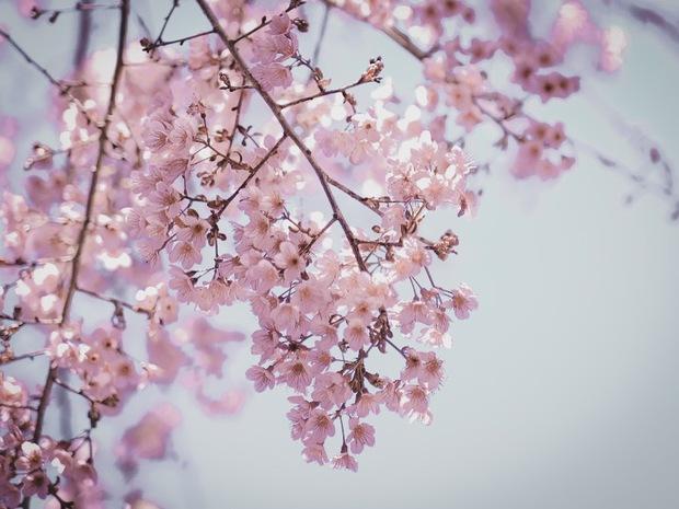 Ảnh: Đà Lạt những ngày cuối năm đẹp mê mẩn trong sắc hồng của mai anh đào nở muộn - Ảnh 8.