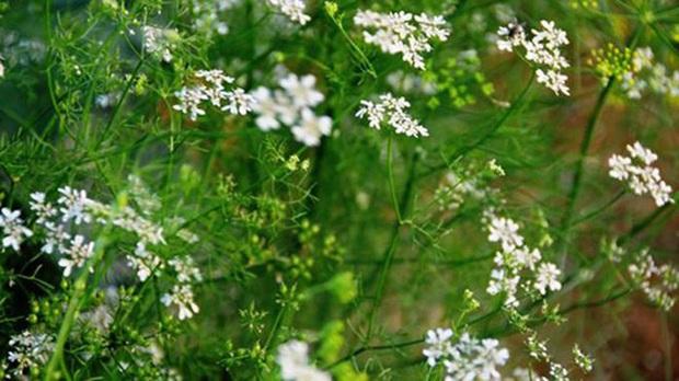 Tắm nước lá mùi già ngày cuối cùng của năm đem lại vô vàn lợi ích sức khỏe nhưng chuyên gia lưu ý 5 điều quan trọng - Ảnh 3.